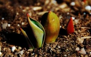 Tulips (soon!)