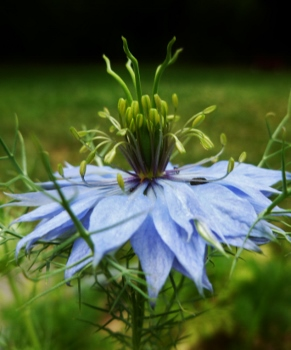Love-In-A-Mist Flower