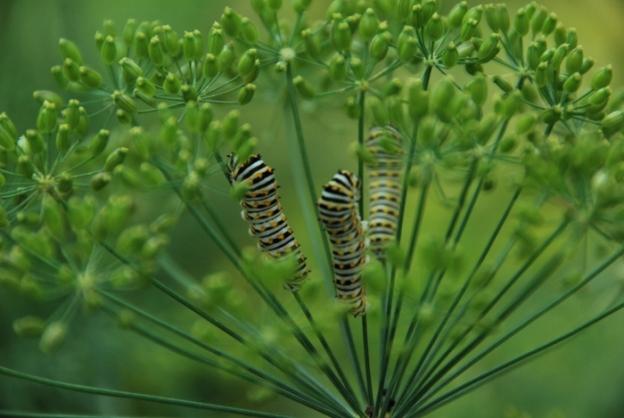 Zebra Swallowtail Catepillars Munching on Dill Plants