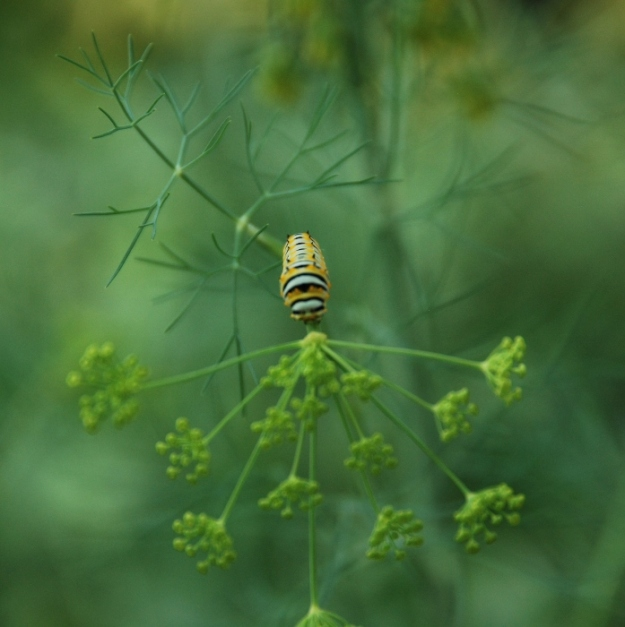 Zebra Swallowtail Caterpillar Munching on Dill Plants