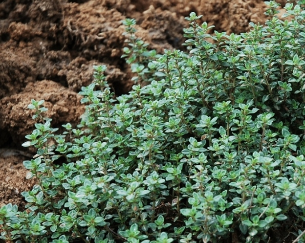 The thyme has stayed green all winter (but is much more perky now!)