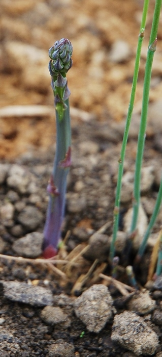 One purple asparagus shoot