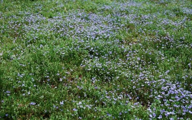 Teeny purple flowers in the lawn