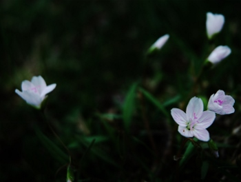 Teeny flowers in the lawn