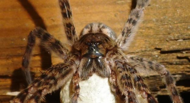 Wolf Spider or Chewbacca Spider?