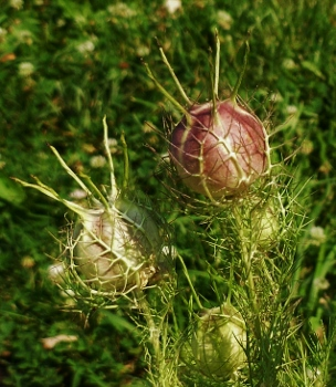 Love-In-A-Mist Seedpod
