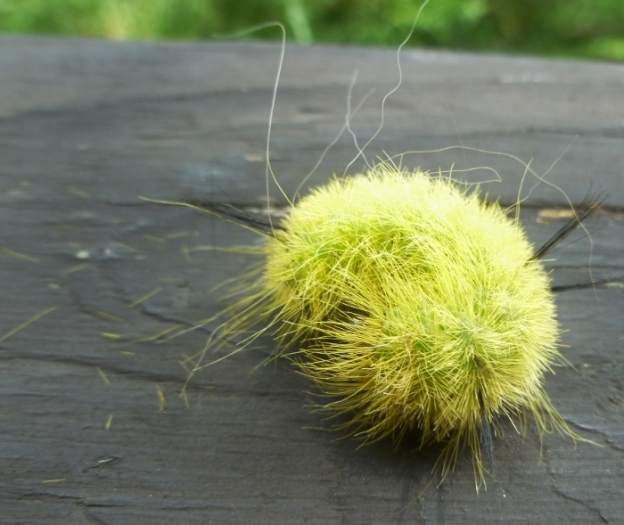 Fluffy green catepillar