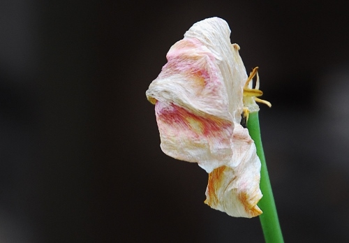 Tulips are pretty much gone, but still find them interesting even when wilting