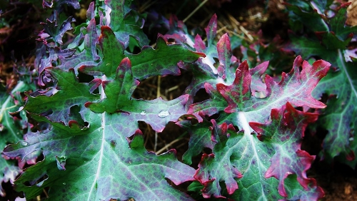 Old kale leaves