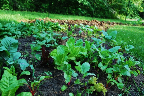 Colorful Lettuce Patch