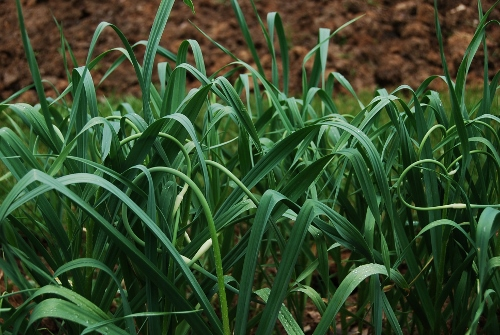 Younger garlic setting scapes