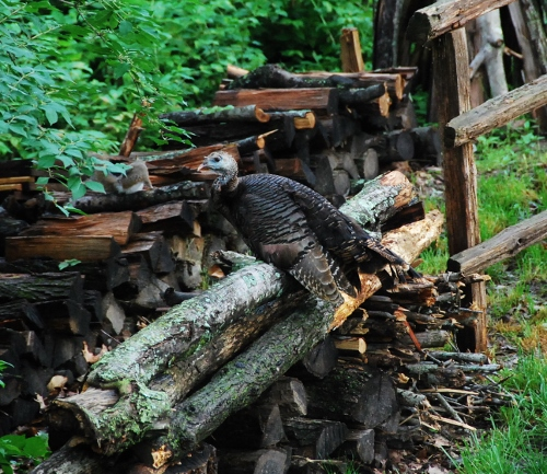 Ben Franklin on our woodpile