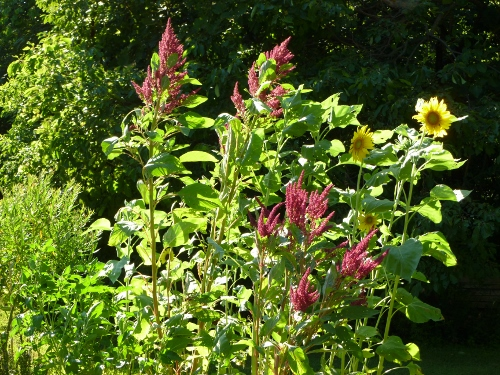 2011 Hartman's Giant Amaranth with Sunflowers