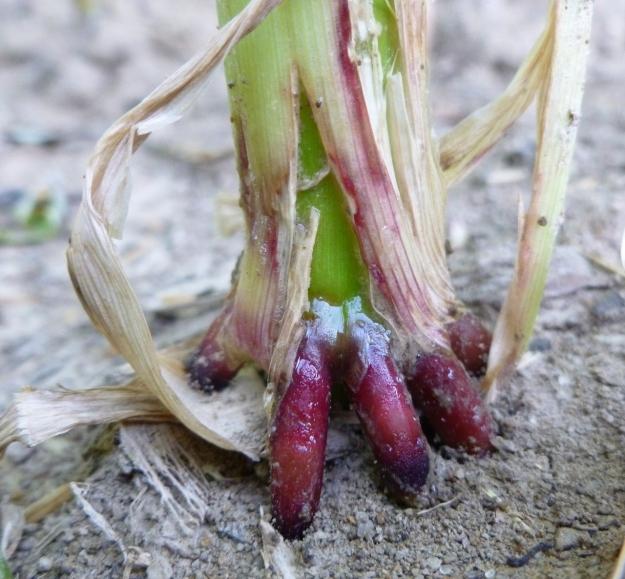 """2012 Rainbow Sweet Inca Corn """"feet""""!"""