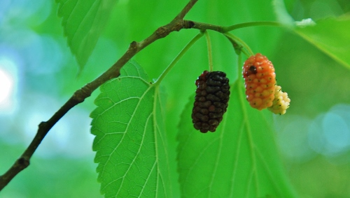 Mulberries!