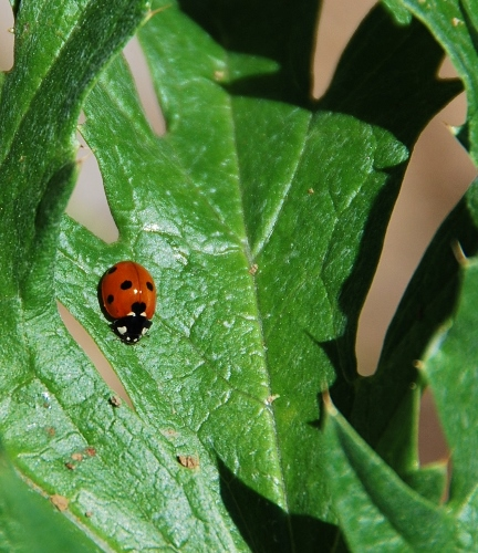 Lots of ladybugs in the garden