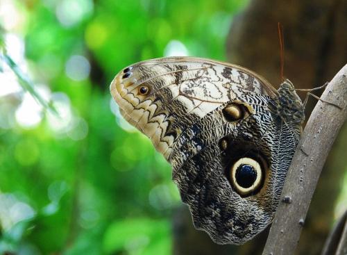 An Owl Butterfly