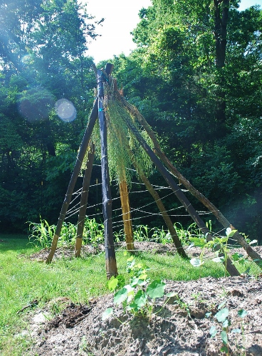 Kale seeds hanging on teepee