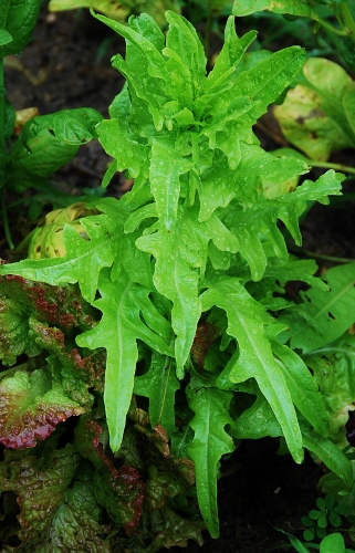 One lettuce with unusual leaves