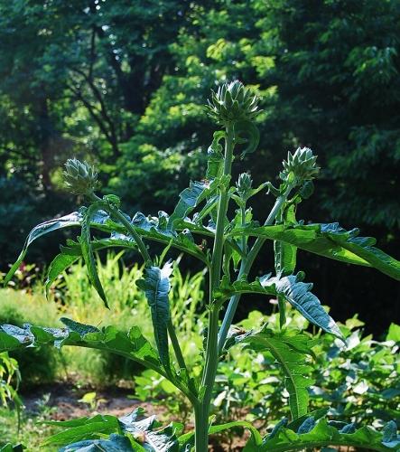 The green (violet de provence?) artichoke plant