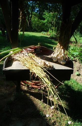 Piles of garlic