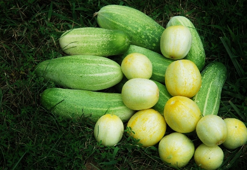 Lots of cucumbers to pick! (Lemon and Delikatesse)