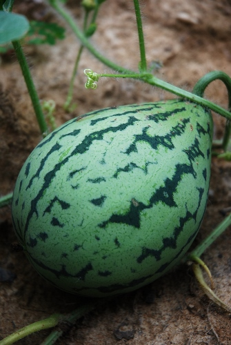 Several Oranglo watermelons have started growing