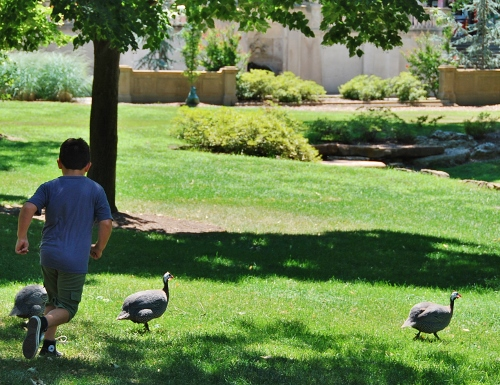 Chasing some guineas