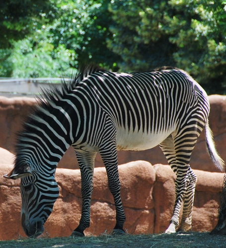 Zebras are so chic!