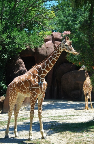 My favorite are the giraffes