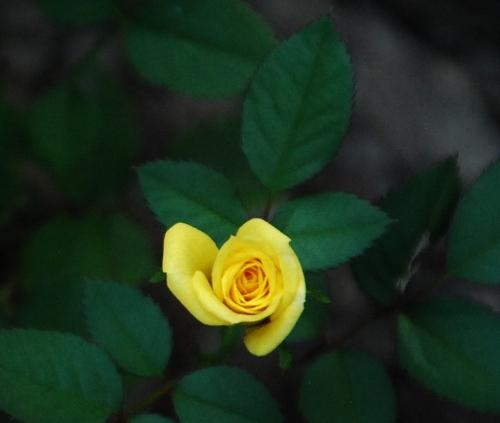 Little yellow rose