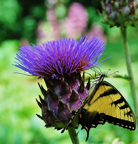 Violet de Provence artichoke bloom and zebra swallowtail
