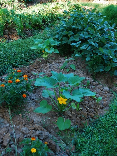 From left: marigolds, white acorn squash, turnips and soybeans