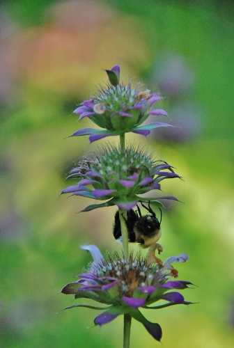 Bumblebee sleeping upside down on lemon bee balm