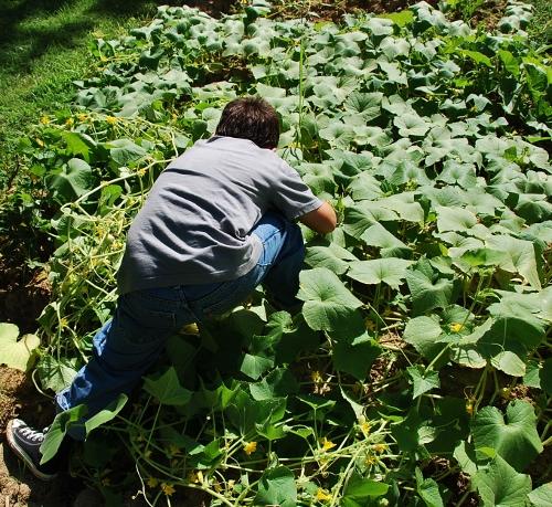 Picking lemon cucumbers