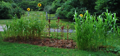 From left: sorghum, INca sweet corn, sunflowers, amaranth and more sorghum