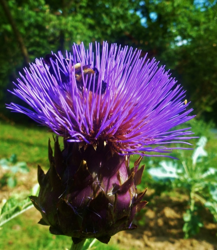 Violet de provence artichoke bloom with bees