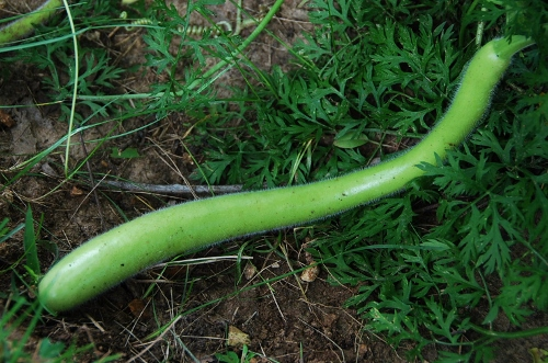 Sicilian serpent edible gourd (they turn white when ripe)