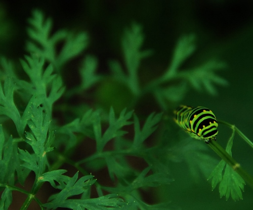 Zebra swallowtail catepillar on carrot greens