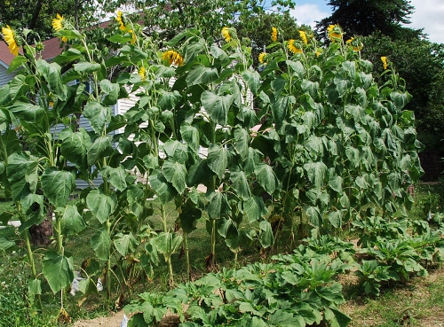 """The """"back"""" of the sunflowers"""
