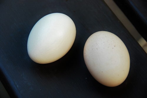 Two freshly-layed eggs!