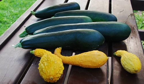 Some HUGE zucchini and three yellow crookneck summer squash