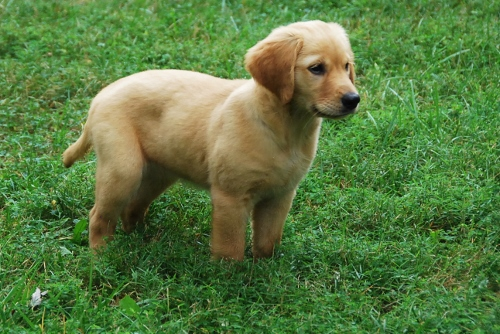 Not too many things cuter than a Golden Retriever puppy