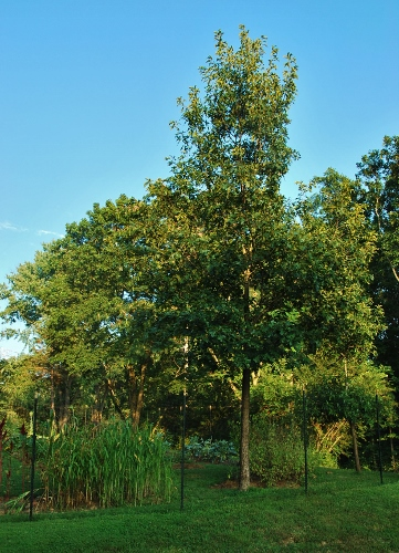 Tall maple tree in garden: your time is almost up.