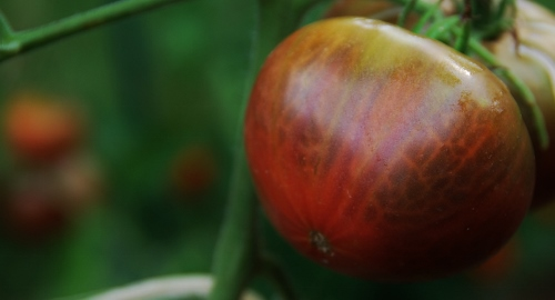 Sarah Black Tomato