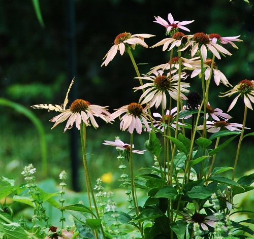 Purple Coneflowers (echinacea) and yellow butterfly looking worn and tattered. Summer is ending and fall arriving. I just love fall!