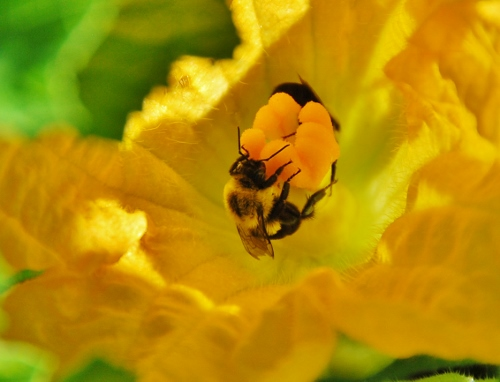 Two bumblebees in a squash blossom