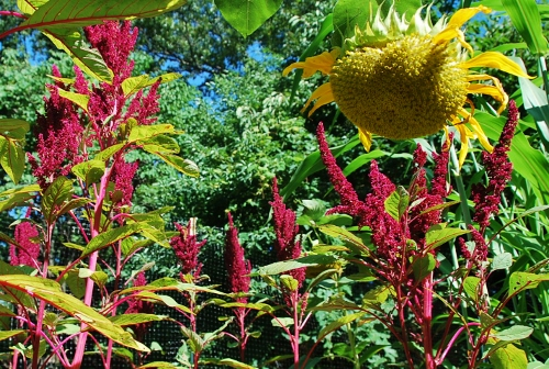 Hartman's Giant amaranth and sunflower