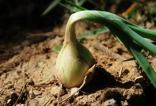 Ailsa Craig onion