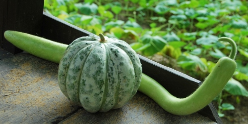 Delice de la Table melon and Serpente di Sicilia edible gourd